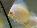 White batterfly discus