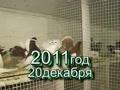 Статные голуби заводчика В.И.Масленникова